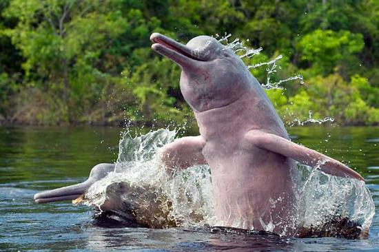 pink-dolphin2